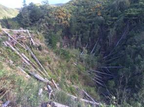 Pine tree felling