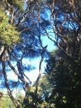 Kereru in a kanuka tree