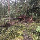 More fallen trees